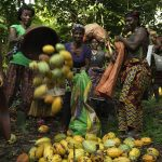 Collecting cocoa pods at harvest by Peter Caton