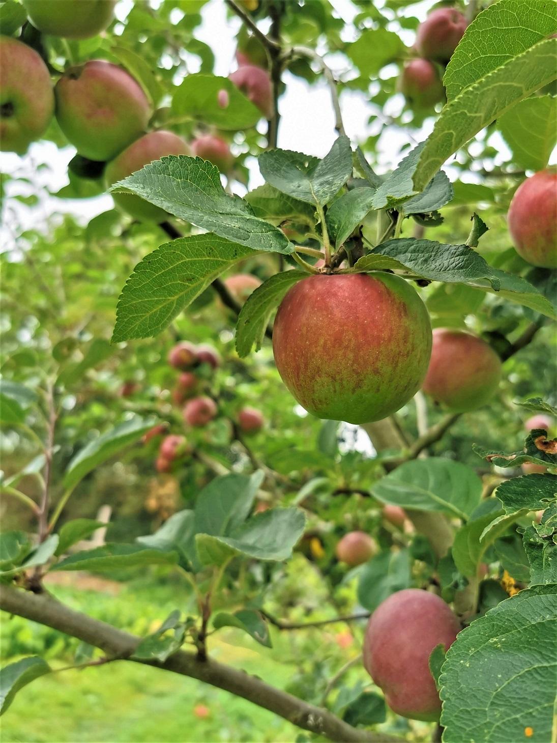 Worton Kitchen Garden Apples